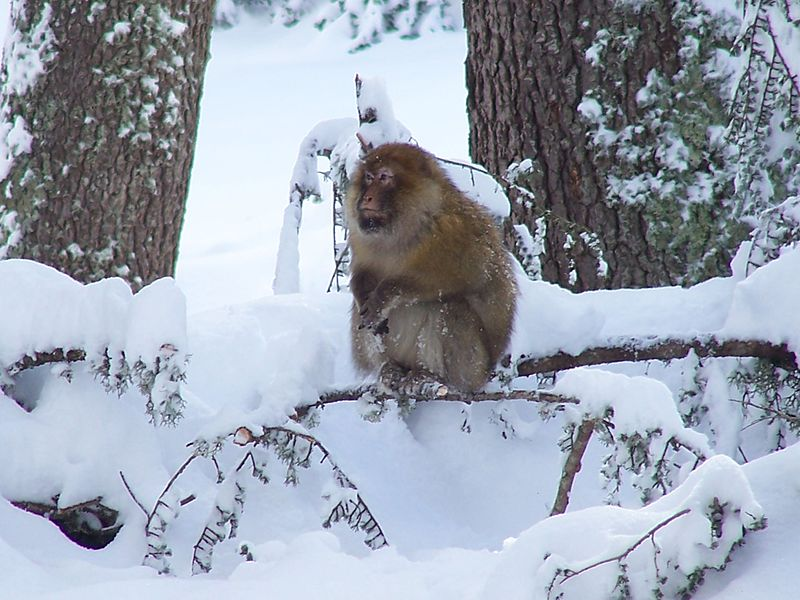 http://www.moroccodesertvip.com/wp-content/uploads/2018/11/Barbary_macaque_in_cedar-1.jpg